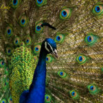 Peacock in the garden, photo by Doreen L Wynja