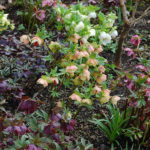 Close-up of hellebores in the garden