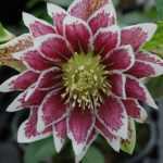 Double hellebore Double Painted