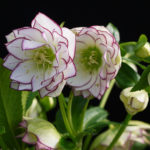 Double hellebore Fire and Ice