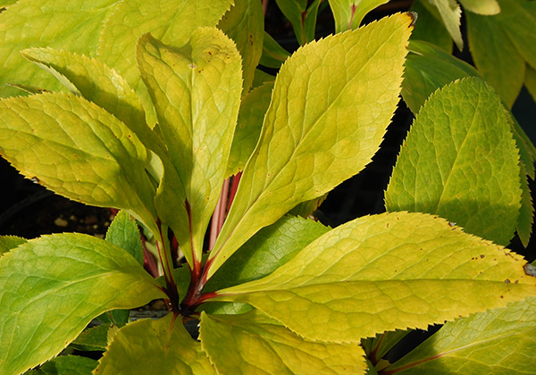 Hellebore 'Golden Sunrise' foliage