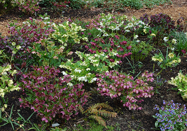 Hellebores prefer a sheltered position in semi-shade