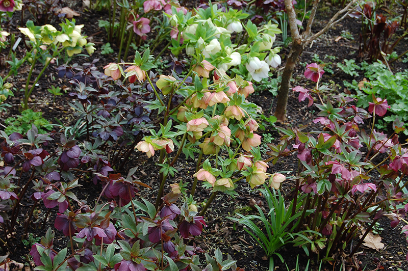 A mixed group of hellebores in our garden