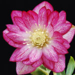 Double hellebore Peppermint Ice