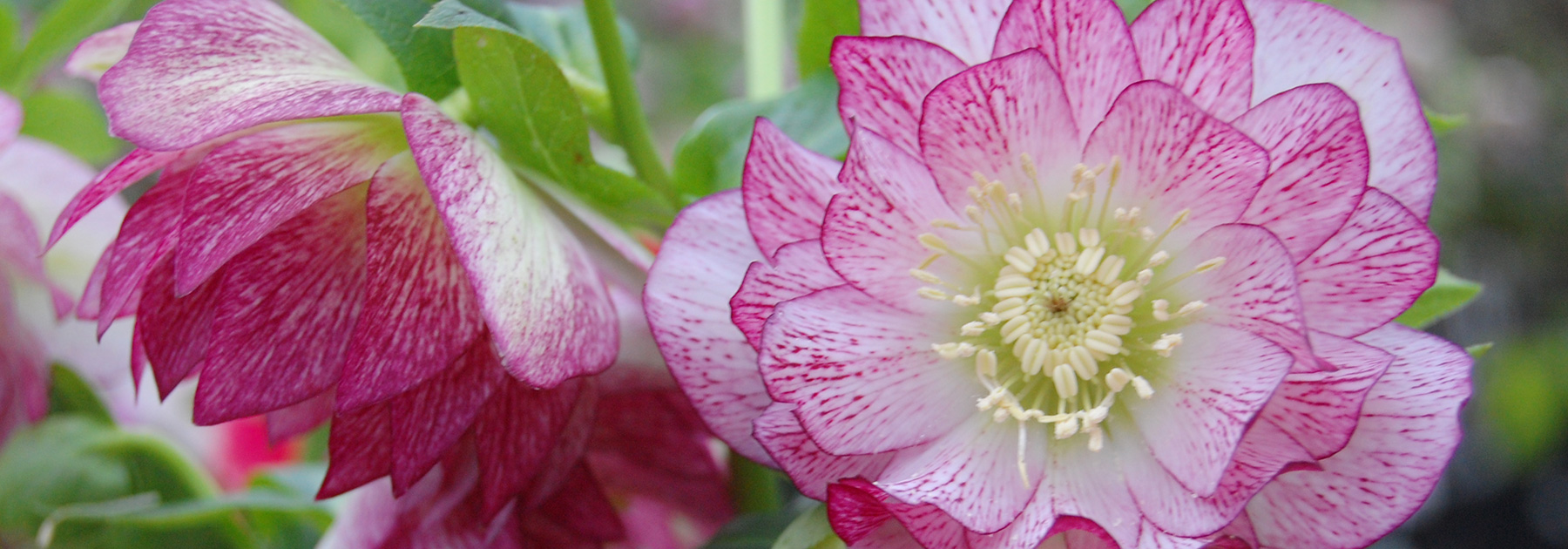 peppermint-ice-double-hellebore