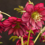 Double hellebore Red Sapphire