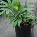 One-year-old hellebore, unbloomed