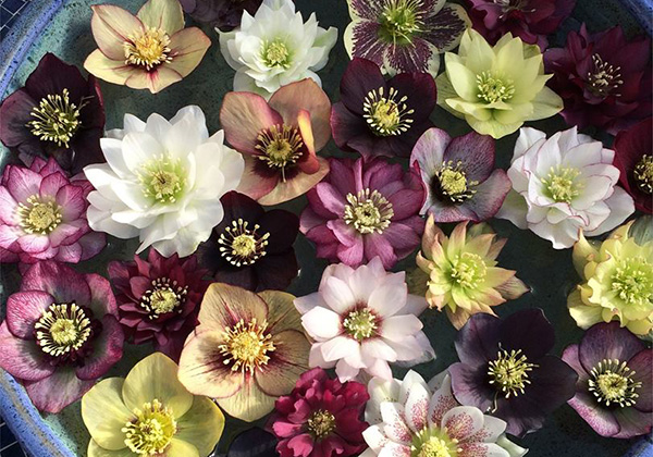about our hellebores