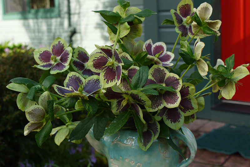 Hellebores as cut flowers